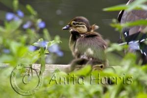 Mandarin ducklings - img_0165-1.jpg