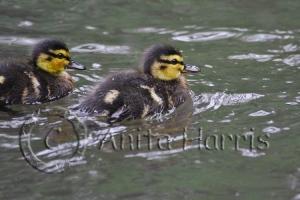 Mallard Ducklings - img_0186-1.jpg