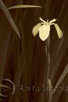 Iris in bloom - img_0110-1.jpg