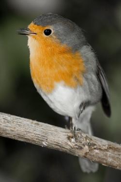 Jim the Robin - img_0761_cr2_2