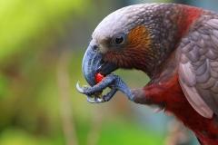 NZ Birds -1