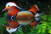 Mandarin -img_6624_1b.jpg