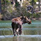 Wading Moose - img_3393_w.jpg