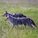 Hunting Coyote - img_3560_w.jpg