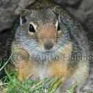 Uinta Ground Squirrel - img_3629_w.jpg