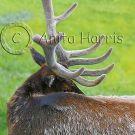 Resting Elk - img_3994_2_w.jpg