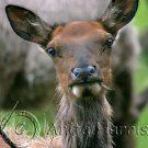 Elk Portrait - img_4110_2_w.jpg