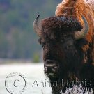 Bison on a frosty morning - img_4255_w.jpg