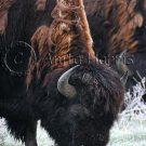 Grazing Bison - img_4260_w.jpg