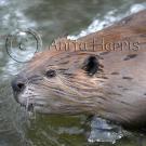 Beaver Portrait - img_4777_1_w.jpg