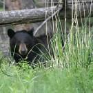 Black Bear in the trees -img_4913_w.jpg