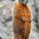 Furry Marmot - img_4984_2_w.jpg