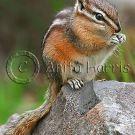 Chipmunk Portrait - img_4986_2_w.jpg