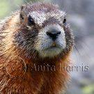 Marmot Portrait -img_4992_w.jpg