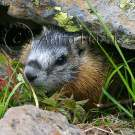 Baby Marmot - img_4999_w.jpg