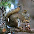 Squirrel with Pine Cone - img_5202_w.jpg