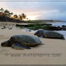 hookipa turtles-0226